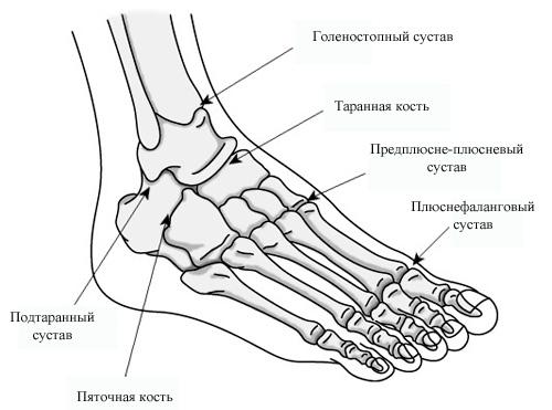 Izobrazheniye-golenostopnogo-sustava-(iz-chego-sostoit)